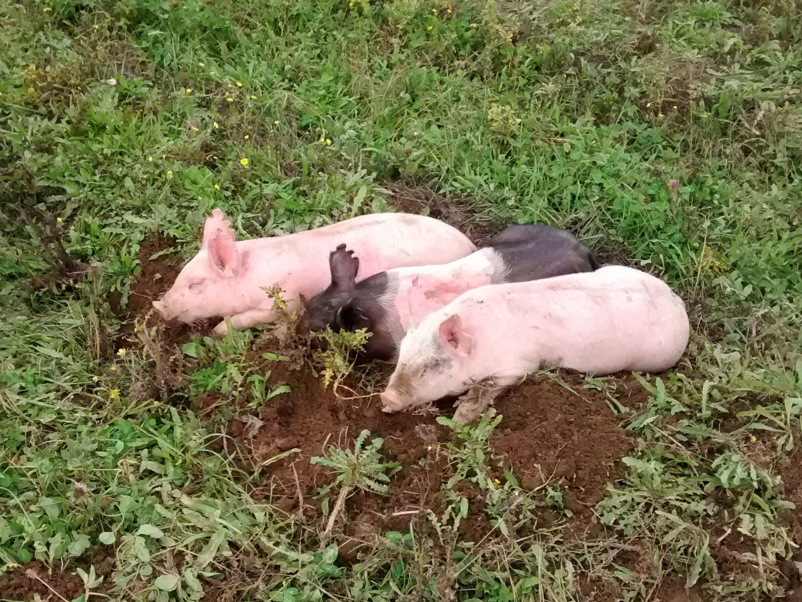 Three little pigs from 2015
