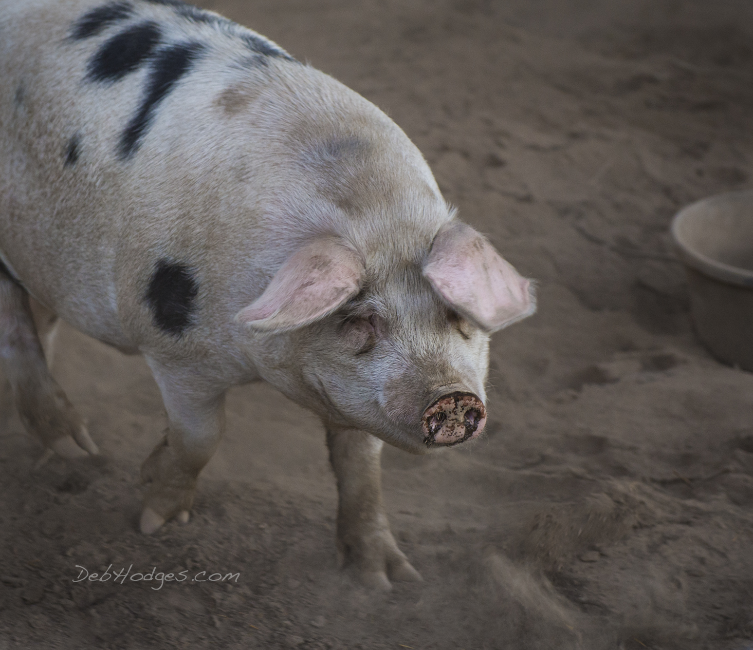 Old Spot pig photo by Deb Hodges 2015